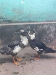 Pato marreco pompom
