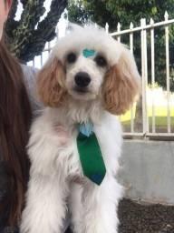 Macho poodle com ilhasa apso