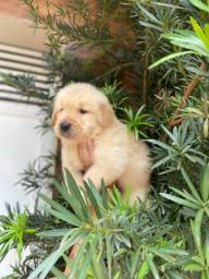 Filhote macho de Golden Retriever com Pedigree