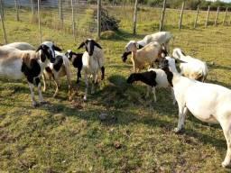 Título do anúncio: Vendo lote de carneiros