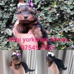Mini yorkshire macho 4 meses, fêmea 50 dias