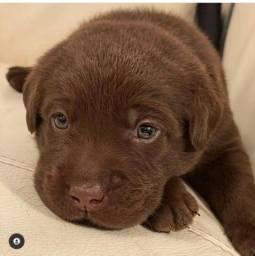 Labrador - Filhotes Lindos e Saudáveis !!