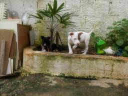 Filhotes Pitbull American Terrier