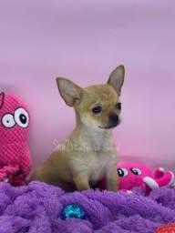 Título do anúncio: Lindos Chihuahuas - Canil Filhotes da Serra