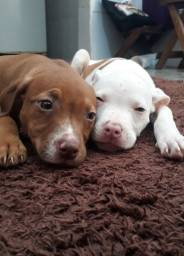 Pit bull red nose