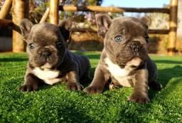 Filhote macho de bulldog francês Blue sólido