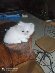 Persa branca filhote disponivel