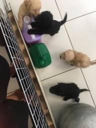 Filhotinhos de poodles