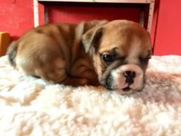 Filhotes de bulldog inglês a venda