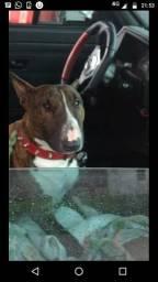 Bull terrier inglês para acasalamento