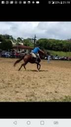 Cavalo Quarto de Milha 1/2 Sangue