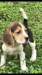 Beagle Filhotes 13 Polegadas com pedigree