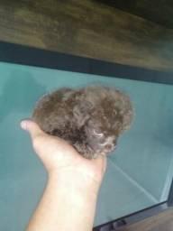 Miniatura de poodles os famosos zero micro vacinados e vermifugados femeas e machos
