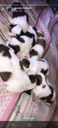 Lindos bebês de shih tzu
