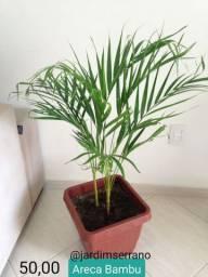 Coqueiro Areca Bambu