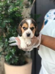 Beagle mini, na maior e melhor rede do brasil em 12x sem juros