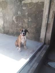 Vendo filhote de boxer  350 reais  sou de  Anápolis