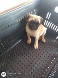 Fêmea Pug disponível para entrega imediata 59dias