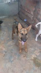 Cachorra pastor alemão