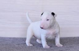 Bull Terrier com seguro de vida e pedigree