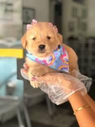 Golden Retriever- Filhotes lindos a venda