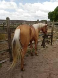 Cavalo puro sangue . Filho do El Roxi cavalo que era do Safadao.