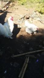 Casal de galinhas Brahma waith