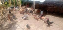 Lote de galinhas