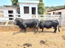 Título do anúncio: Casal mini Vaca e mini boi