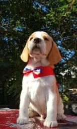 Beagle Filhote Macho, neto de campeão. Já disponível para entrega! Promoção!!!