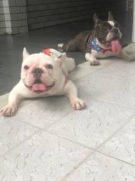 Casal bulldogue francês