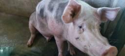 Porco reprodutor e fêmea perto de parir