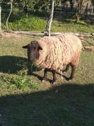 Vendo carneiro castrado texel de 2 anos
