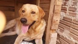 Labrador macho (pote médio)