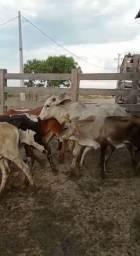 Vacas/ Bezerros, Gado