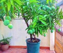 Mudas enxertadas frutíferas mangás em geral João Pessoa