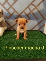 Pinscher você vai amar