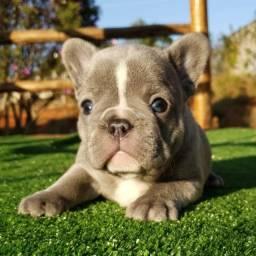 Filhote Macho de Bulldog Francês Lilac