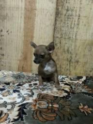 Chihuahua a menor raça de cachorro do mundo e encanta pelo tamanho e pelo olhar meigo