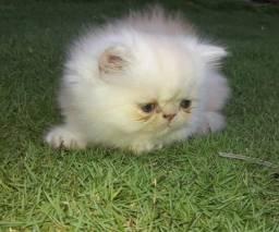 Gato Persa (em até 12x)