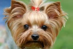 Yorkshire - Pequenos Pets, Grandes Personalidades