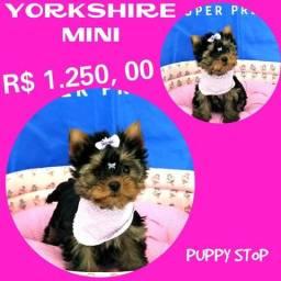 Feminha de Yorkshire Mini Disponível aqui no Puppy Stop - Parcelado 12X