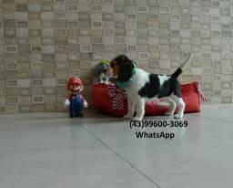 Filhote de Beagle com Garantia =-0