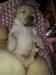 Labrador. 100.wat *