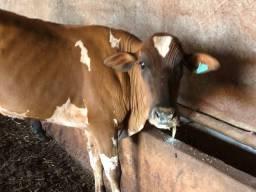 Vendo vaca landes com Nelore