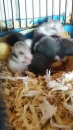 Hamster sirio 35 reais