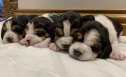 Beagle filhotinhos com pedigree e garantias de saúde!