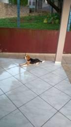 Filhote Beagle tricolor puro