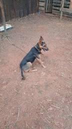 Título do anúncio: Cachorra pastor alemão