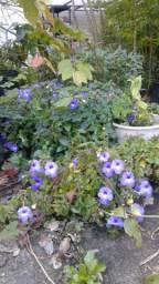 Muda violeta pendente achimenes gesneriad flor rara